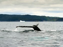Humpback whale tail with iceberg