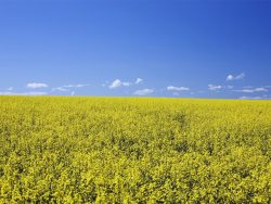 flowering canola, central alberta, canada