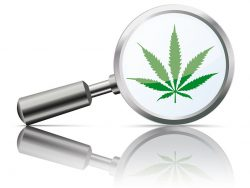 Magnifying glass with green cannabis leaf