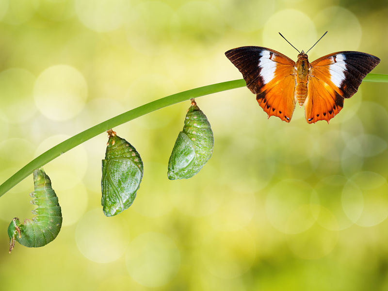 transformation, butterfly with caterpillar and chrysalis