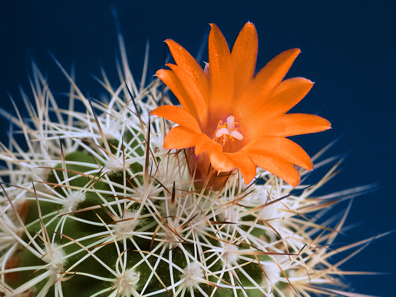 Lilac flower cactus isolated on black